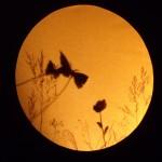ambre papillons 2